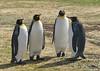 King Penguin (Aptenodytes patagonicus) by Francisco Piedrahita