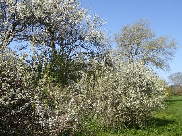 Blackthorn Blossom, Pevensey Levels
