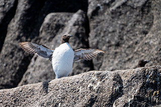 Guillemot wing stretch