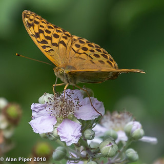 Silver Washed Fritillary | by PapaPiper