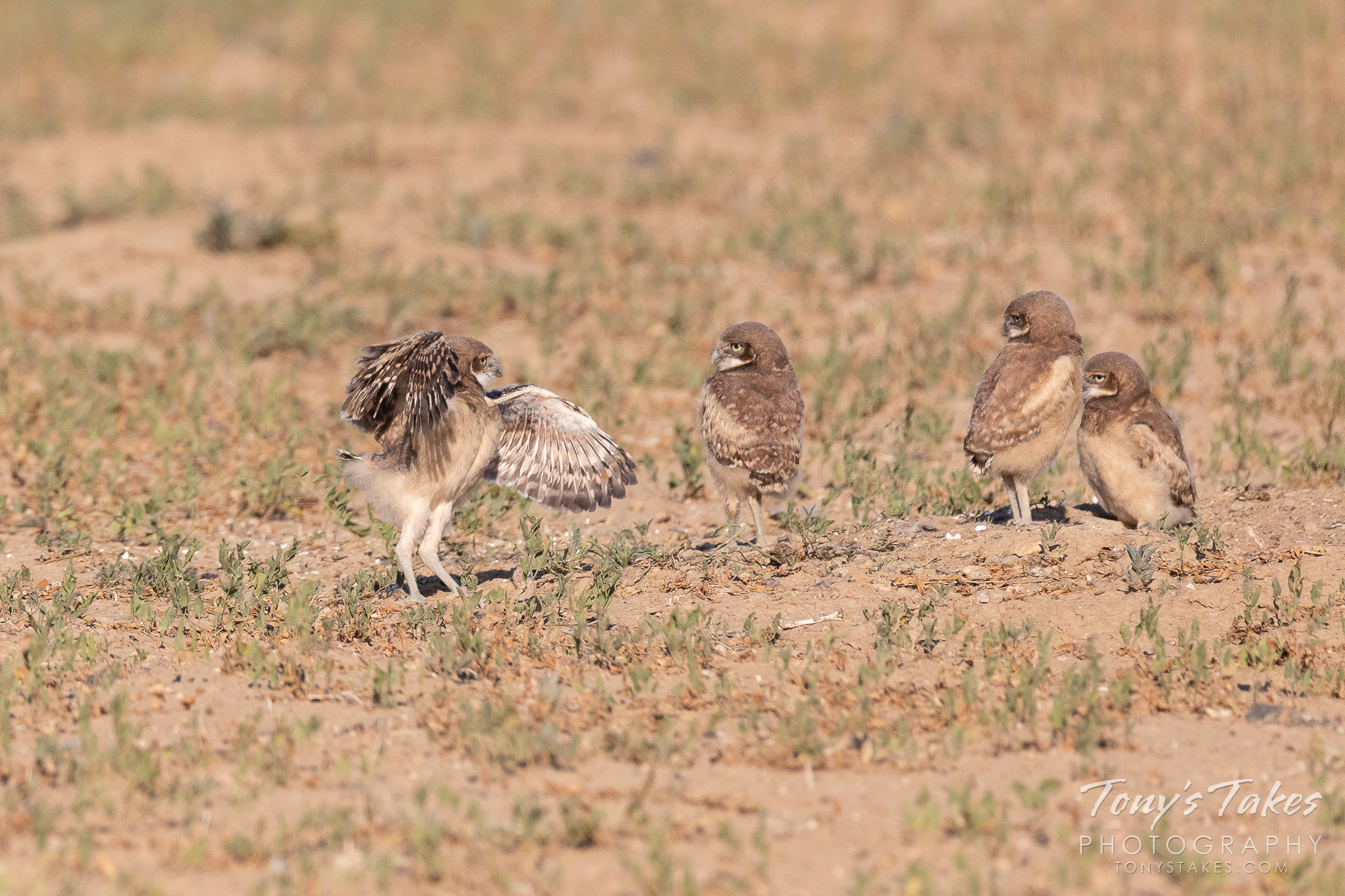 A Burrowing Owl owlet tests out its wings while its siblings look on. (© Tony's Takes)