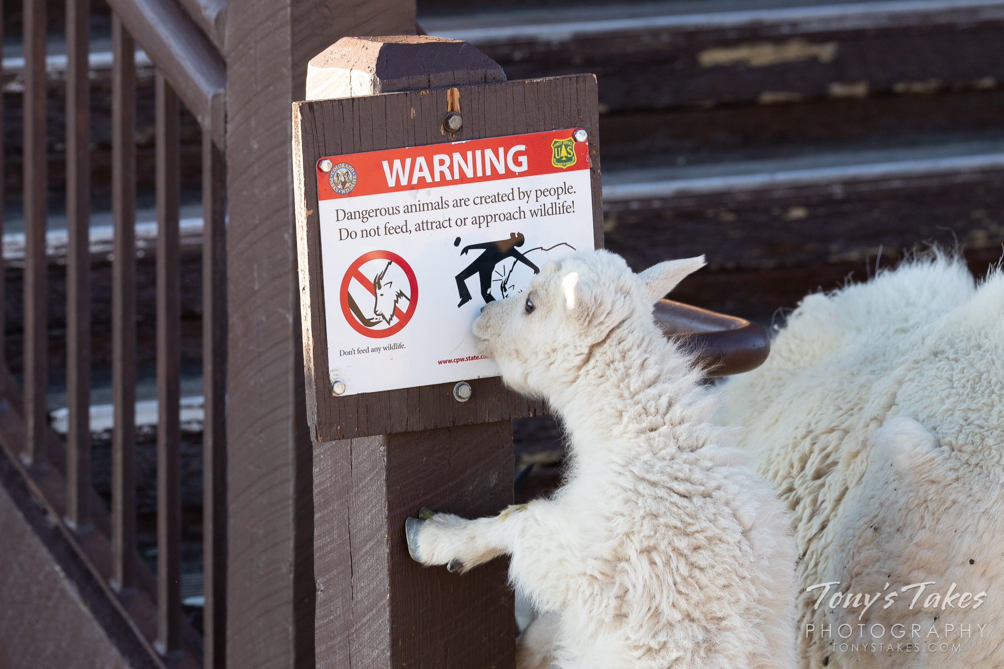 A mountain goat kid checks out a warning sign on Mount Evans in Colorado. (© Tony's Takes)
