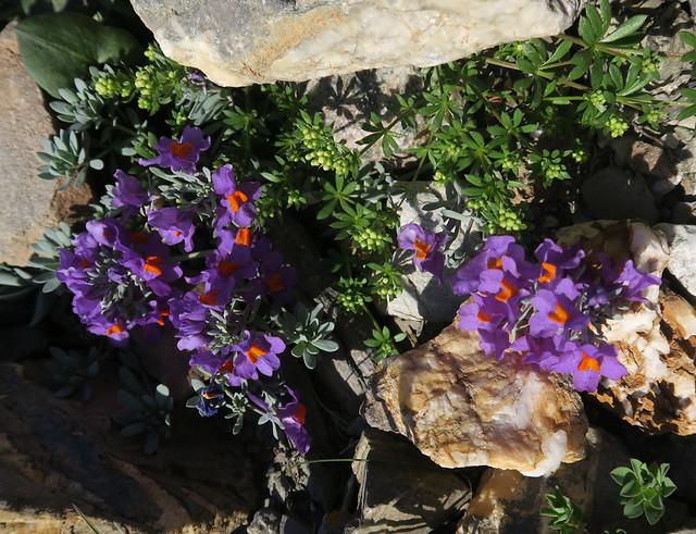 Linaria alpina (L.) Mill. - Linaire des Alpes