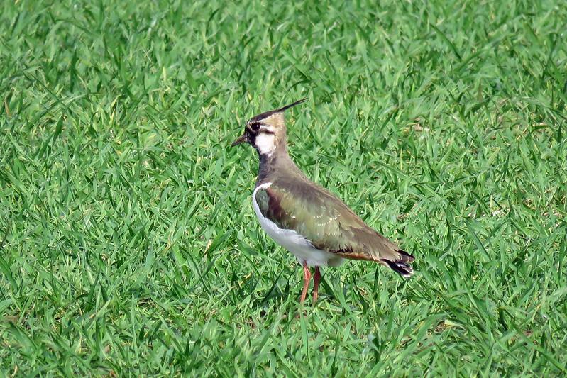 Lapwing - Vanellus vanellus