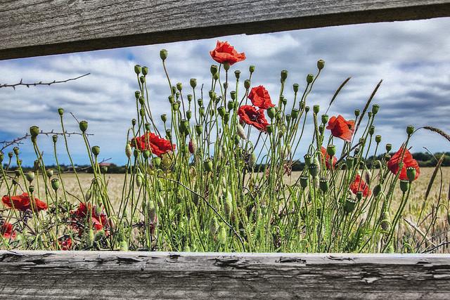 Poppies - framed.
