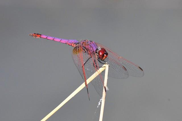 Trithemis annelé - Trithemis annulata - Purple blushed darter