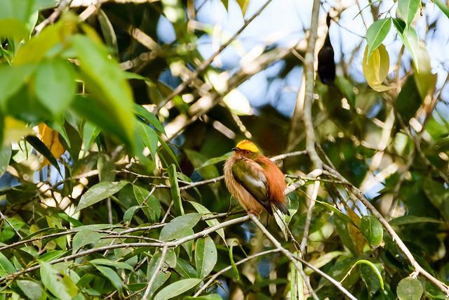 Fiery-capped Manakin.. Machaeropterus pyrocephalus..Manu Peru