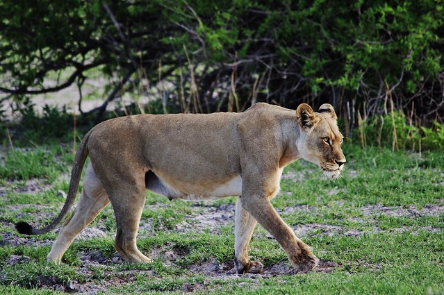 Lioness Searching For Pride (Panthera leo)