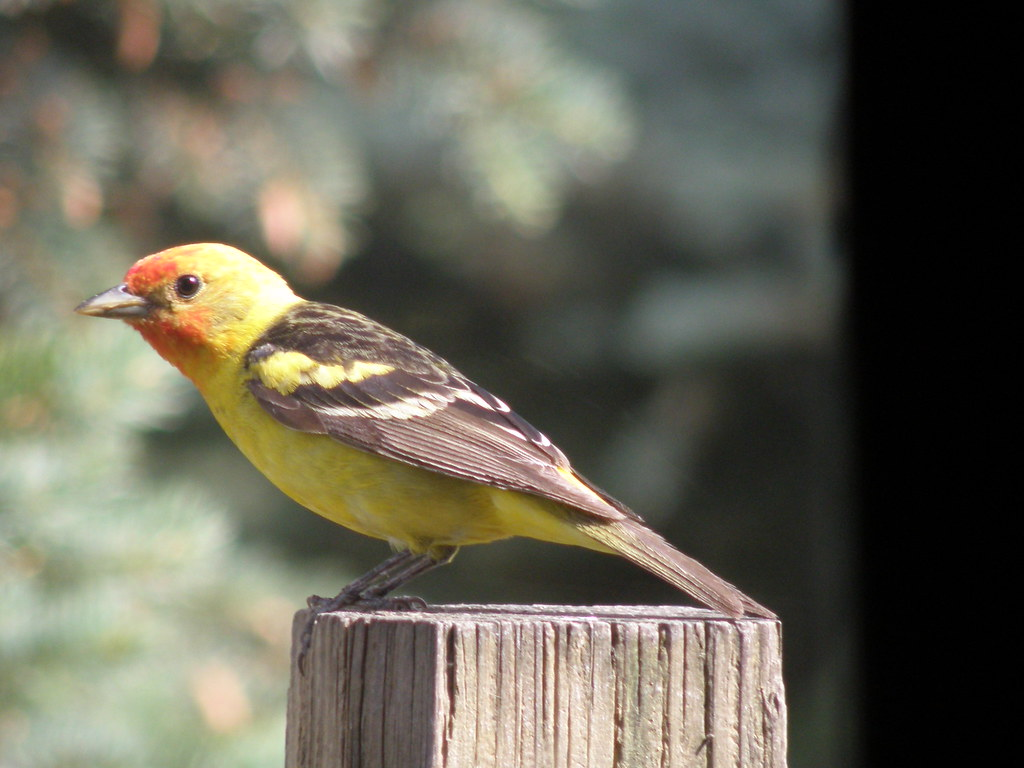 P6197317...western tanager