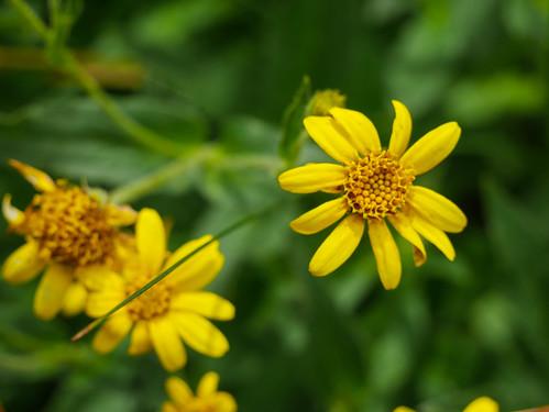 One of a billion yellow Sierra wildflowers I've yet to learn | by snackronym