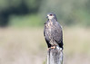 Snail Kite (female) by tickspics 