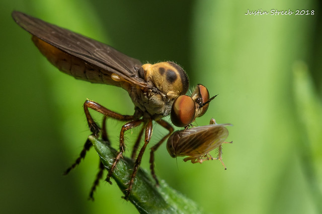 Robber Fly &  Planthopper