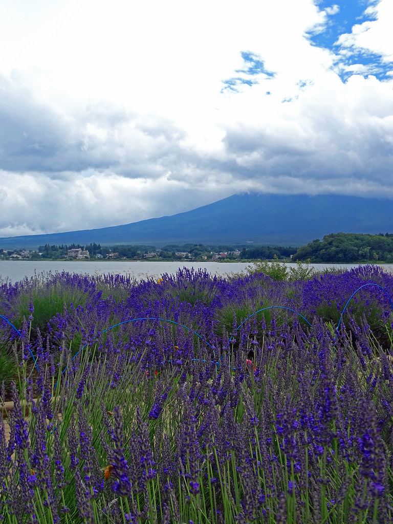 Lavender and Fuji ラベンダーと富士山