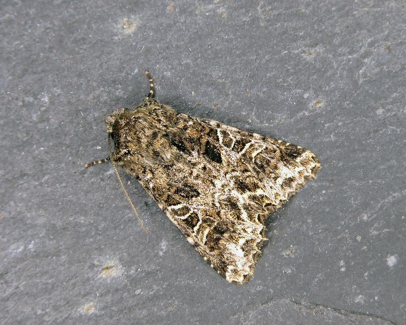 73.281 Lychnis - Hadena bicruris
