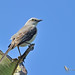 Tropical mockingbird - Moqueur des savanes - Sinsonte tropical - Mimus gilvus