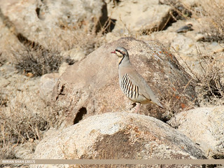 Chukar Partridge (Alectoris chukar) | by gilgit2
