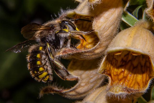 Bee On Flower Of Digitalis ferruginea