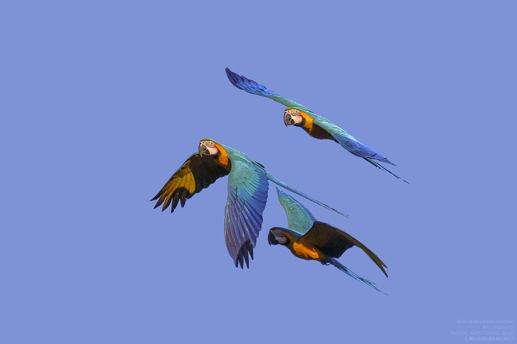 Blue-and-yellow Macaw (Ara ararauna) Nobres, Mato Grosso, Brazil 2017-06