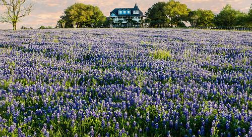 texas brenham chappellhill wildflowers bluebonnets field house spring beautiful wyojones np