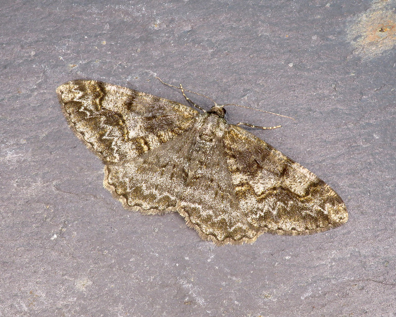 70.265 Mottled Beauty - Alcis repandata