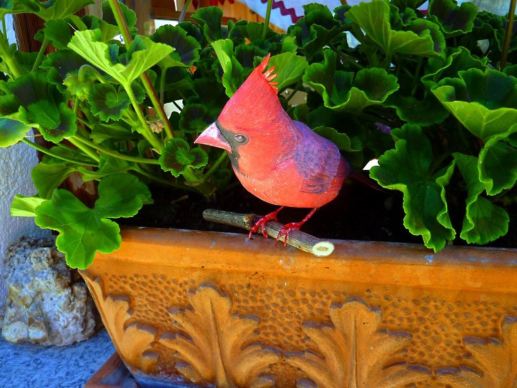 Cardinal rosso