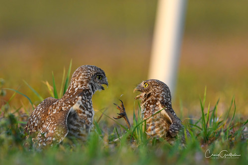 burrowingowls capecoral siblings owls owlets green bird avian wildlife nature nikon d850
