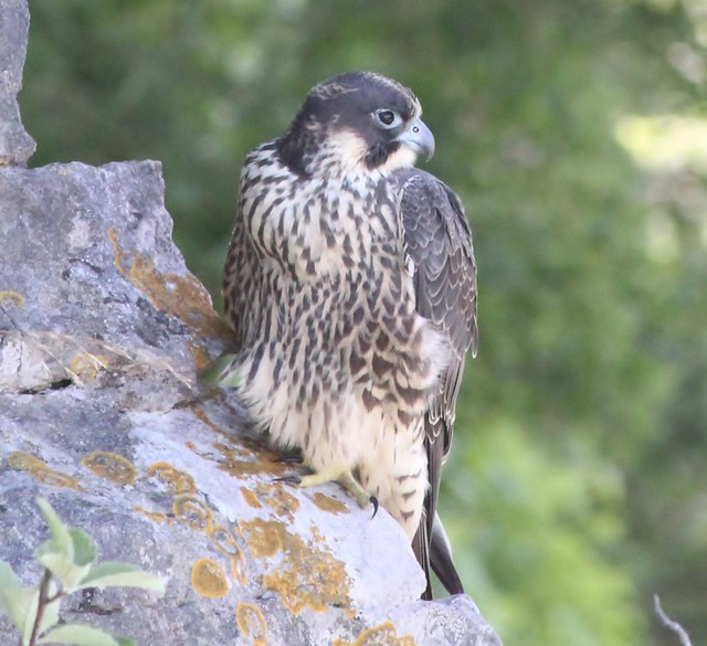 Peregrine Falcon - Juvenile