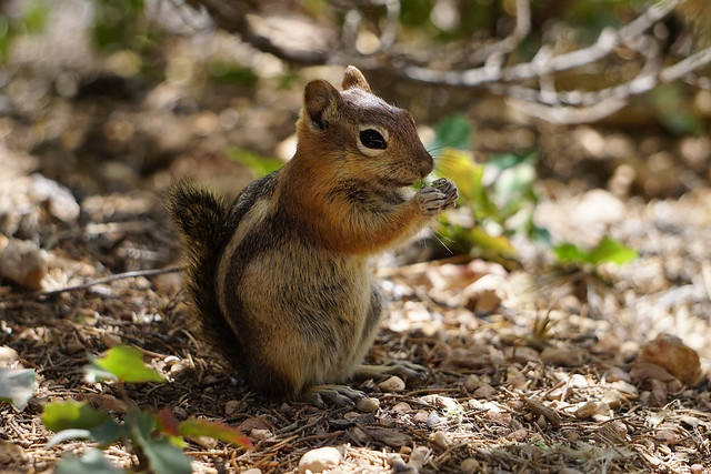 Chipmunk, Bryce Canyon, Utah