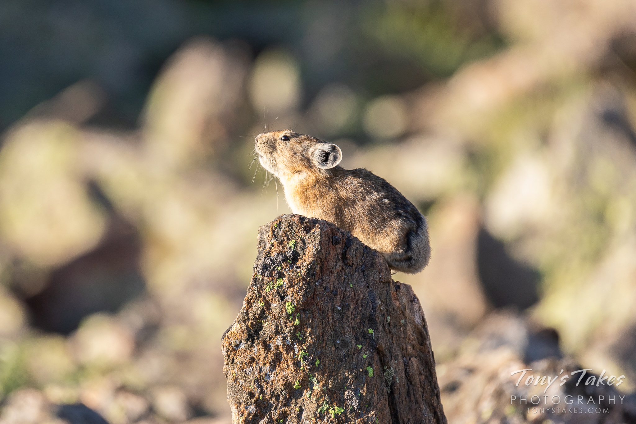 An American Pika keeps watch from a tall rock on Trail Ridge Road.  (© Tony's Takes)