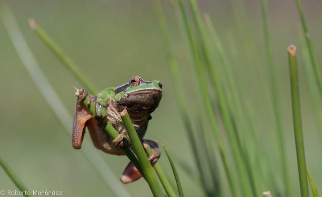 Ranita de san Antonio,european tree frog(hyla arborea)