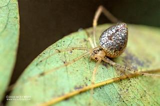 Mirror comb-footed spider (Thwaitesia sp.) - DSC_5666
