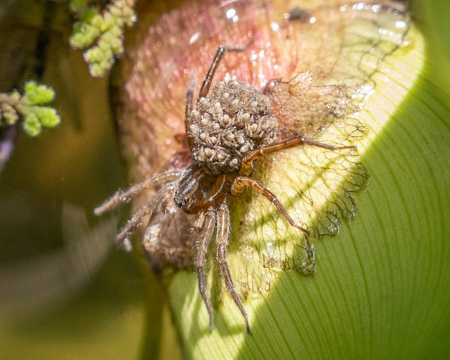 Fishing spider carrying babies
