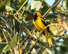 IMG_9921 Yellow-tailed Oriole by suebmtl