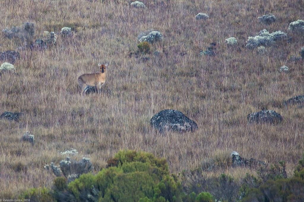 Kili_Machame_to_Shira_25_antilopa_Tanzania 3 iul18