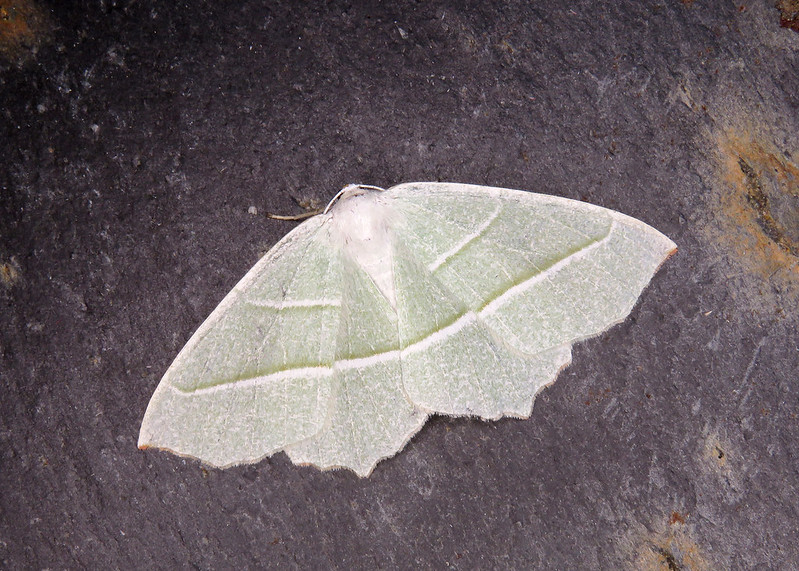70.283 Light Emerald - Campaea margaritaria