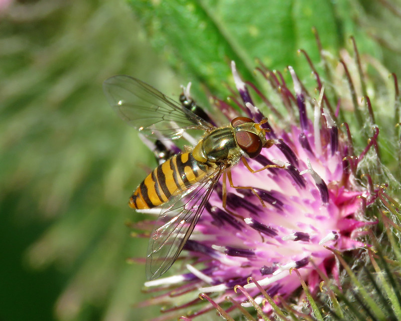 Marmalade Hoverfly - Episyrphus balteatus
