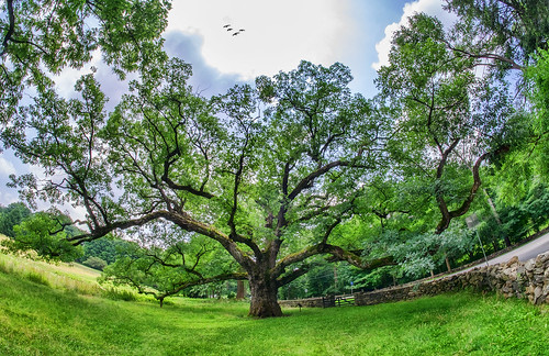 nature tree ancient historic bedford oaktree preservation westchester