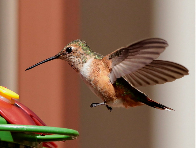 Cleared for landing - Rufous Hummingbird