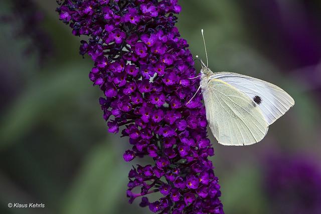 Schmetterlingsflieder - 16071801