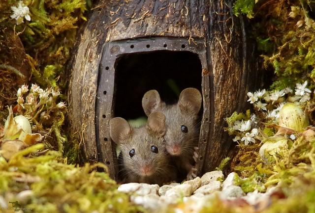 two mice at log pile door (1)