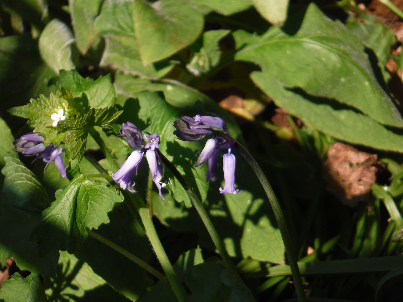 Bluebell SWC Short Walk 39 - Brockwell Park (Herne Hill Circular or to Brixton)