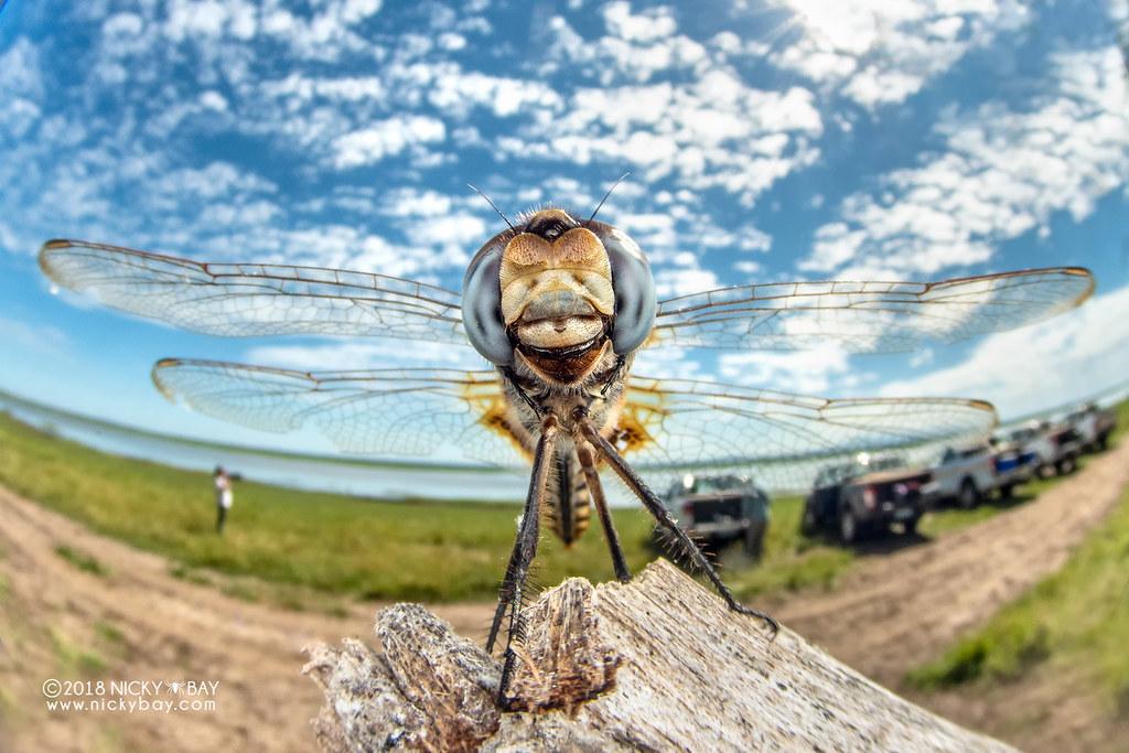 Dragonfly (Urothemis edwardsii) - DSC_4547
