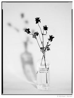 Common Columbine | by Licht & Silber