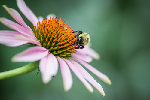 bee on echinacea | by Philip N. Cohen