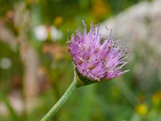 Wild onion | by snackronym
