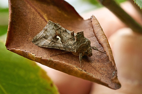 Y moth on dead camellia leaf #2 | by Lord V