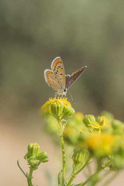 Polyommatus Icarus.