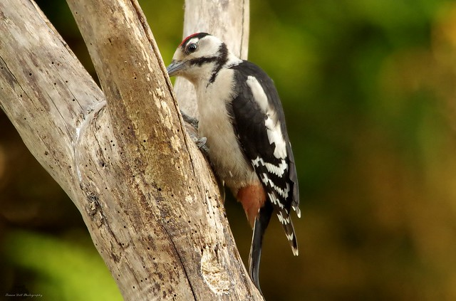 great spotted woodpecker juv  (3)