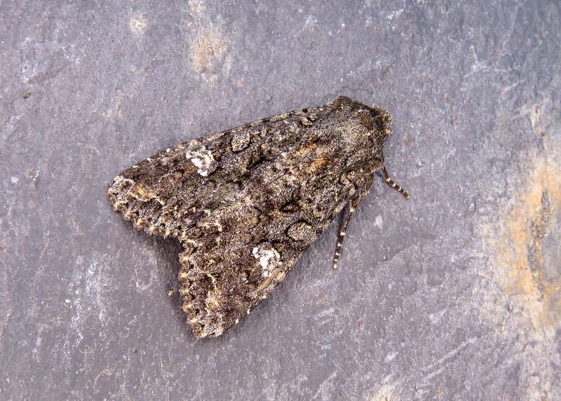 73.274 Cabbage Moth - Mamestra brassicae