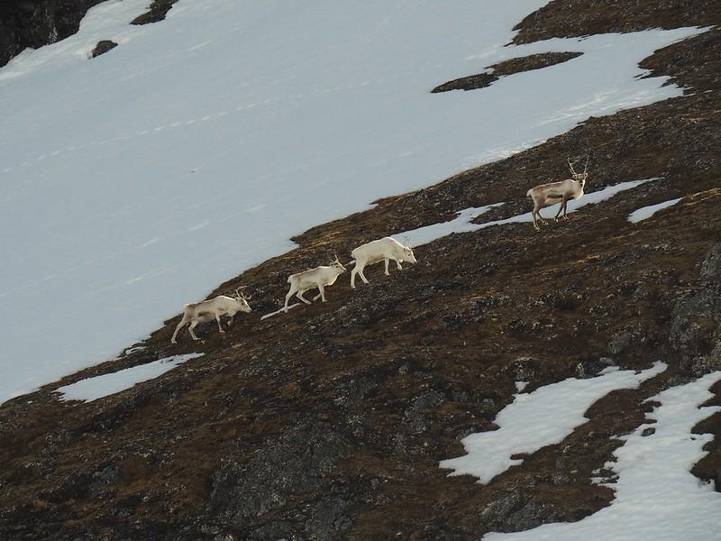 Reindeer. Finnmark, Norway